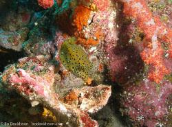 BD-070404-Similan--Ostracion-cubicus.-Linnaeus.-1758-[Yellow-boxfish].jpg